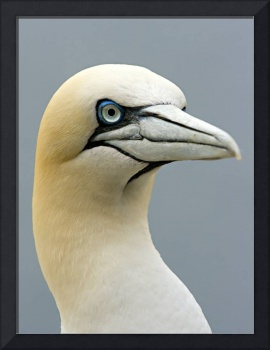 A Gannet on Bass Rock