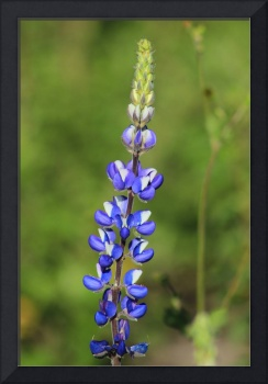 Lupine in a Field