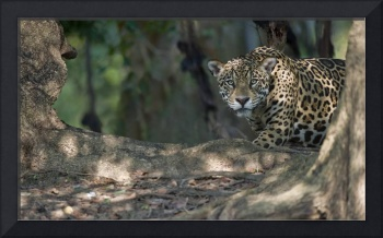 Jaguar Panthera onca in a forest Three Brothers R