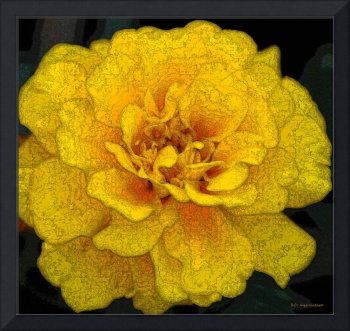 French Marigold