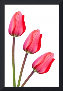 Red Tulip Trio