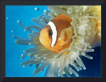 Tomato Clownfish Tropical Fish Pet