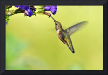 Winged Beauty, a Hummingbird