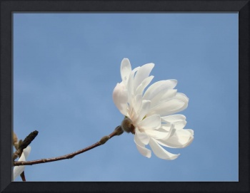 Blue Sky Floral art White Magnolia Flower