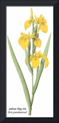 Yellow Flag Iris (Iris Pseudacorus) Botanical Art