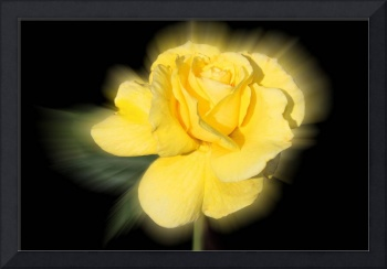 Yellow Rose Halo