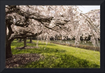 Spring Blossoming Trees