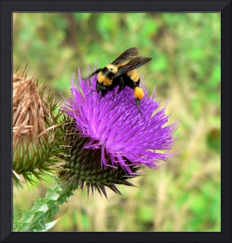 Thistle Pollinator - Arizona Wildflower
