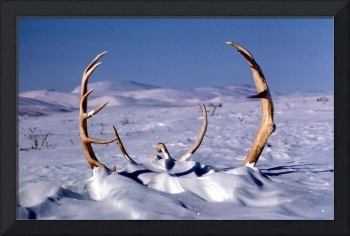 Caribou Antlers in The Snow