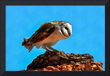 Barn Owl on Stones
