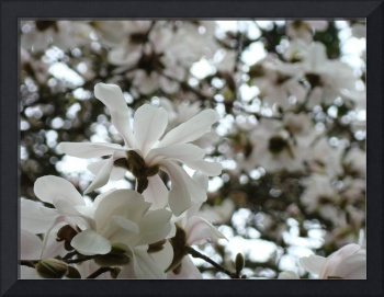 Magnolia Flowers  40 Flowering Trees Art Prints