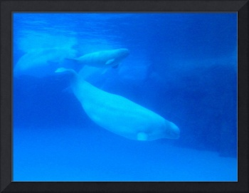 Beluga Whale mother with calf