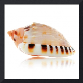 Bonnet Seashell