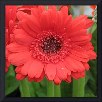 Driving Miss Daisy (Red Salmon Gerbera)