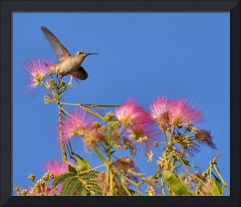 Hummingbird soaring above a Mimosa tree.
