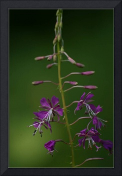 Fireweed or Rosebay Willowherb
