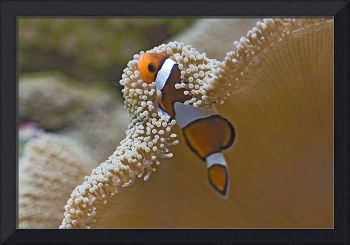 Clownfish Tropical Fish