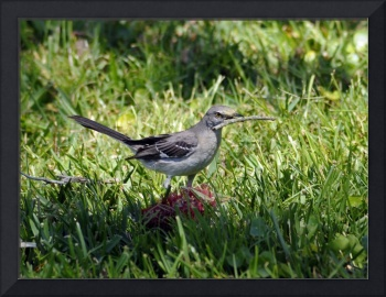 Mockingbird with Twig