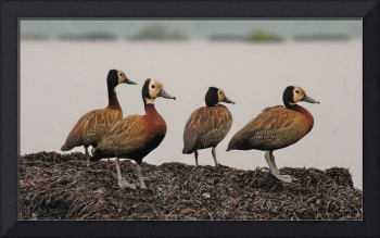 Colony of white-faced whistling ducks, Burundi.
