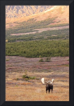 Large bull moose standing in the Powerline Pass ar