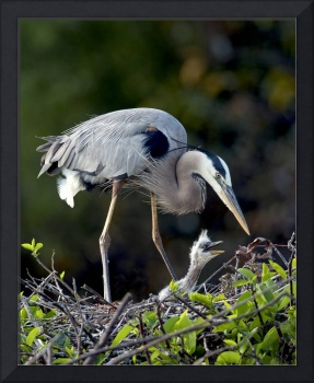 109 Bird Great Blue Heron with young_6325 JPG