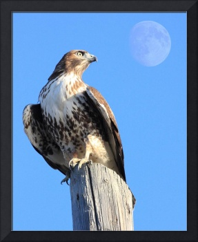 Red-Tailed Hawk and Moon