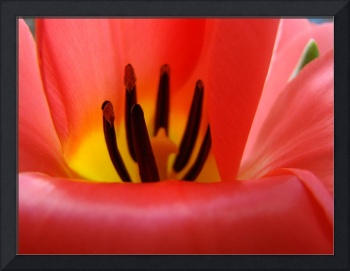 Red Tulip Flower Macro art print Baslee Troutman