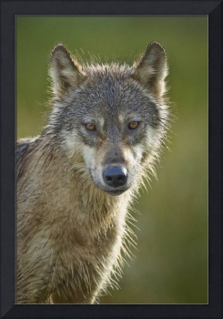 Sentry Wolf (portrait edition)