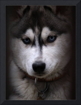 Huskies Dog