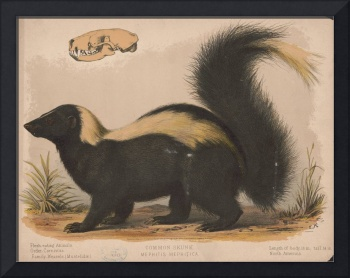 Vintage Illustration of a Skunk (1874)
