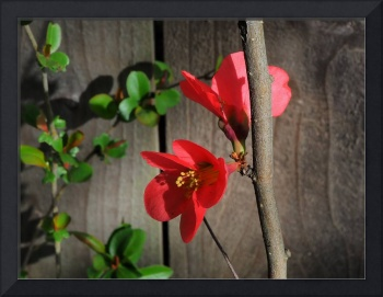 Red Quince Blossoms