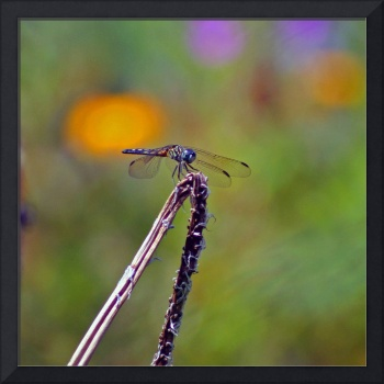 Dragonfly Square format