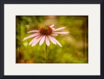 cone-flower-db-walton-pinks-and-greens by D. Brent Walton