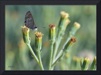 Gray Butterfly Hovering