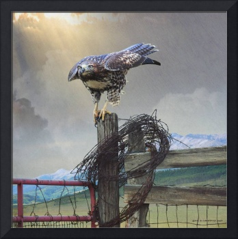 hawk and barbed wire color