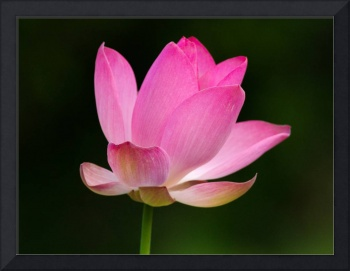 Lotus Bloom II