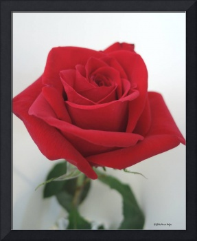 A Rose With Stem