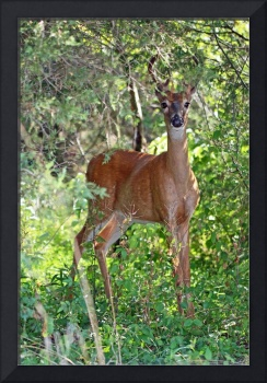 Young Whitetail Deer - Buck in Velvet