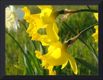 Spring Glowing Sunlit Daffodils Flowers art prints