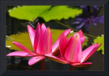 Dragonfly and Water Lily 3