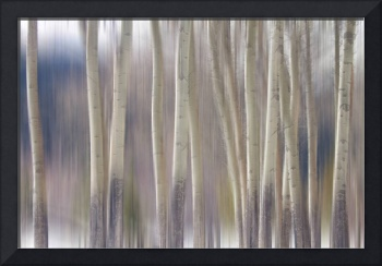 Rocky Mountain Winter Aspen Tree Forest Dream