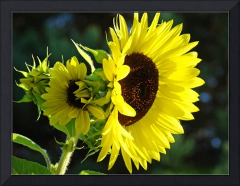 Sunlit Yellow Sunflowers art prints Botanical