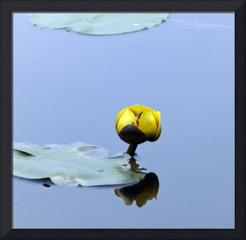 Water Lily Flower with hornet