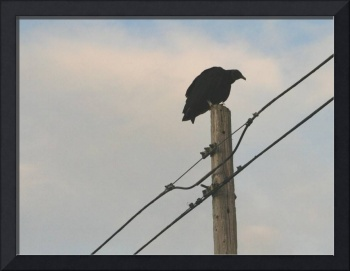 Turkey Vulture looking for dinner