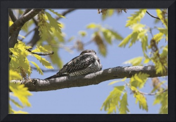 Common Nighthawk Photograph