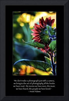Backlit Sunflower with Adams Quote
