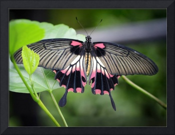 Great Yellow Mormon Butterfly 2017