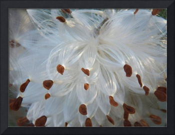 Botanical - Common Milkweed - Outdoors Floral