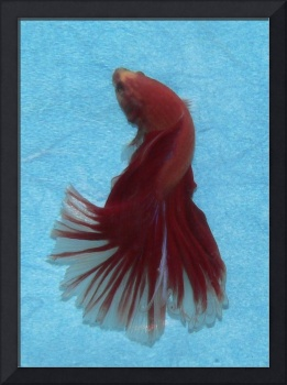 P1400247 Red striped Fantail Male Betta Siamese Fi