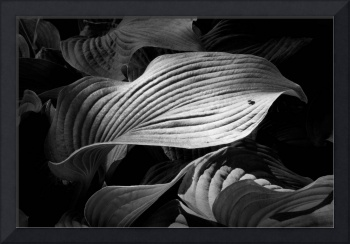 Wavy Hosta Leaf and Insect